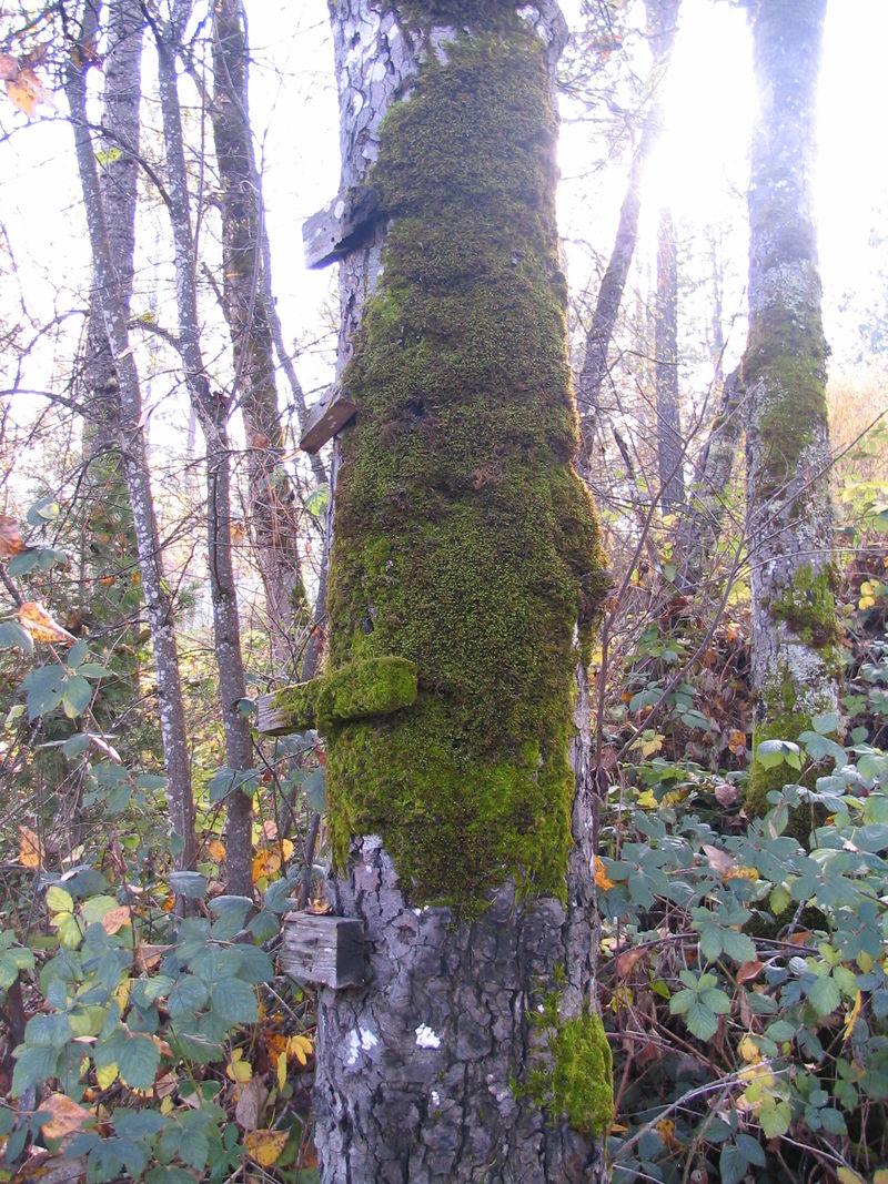 Moss on Tree, 2