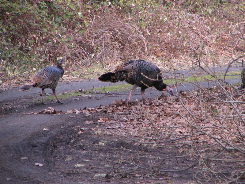 Turkeys, 9