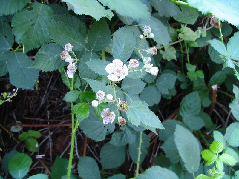 Blackberries We Kept, 1