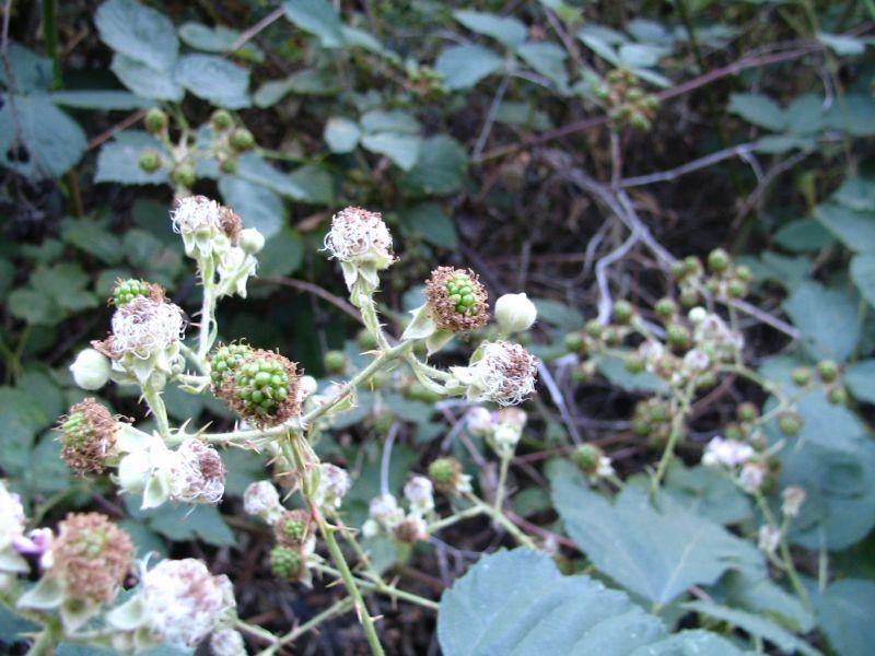 Blackberries We Kept, 4