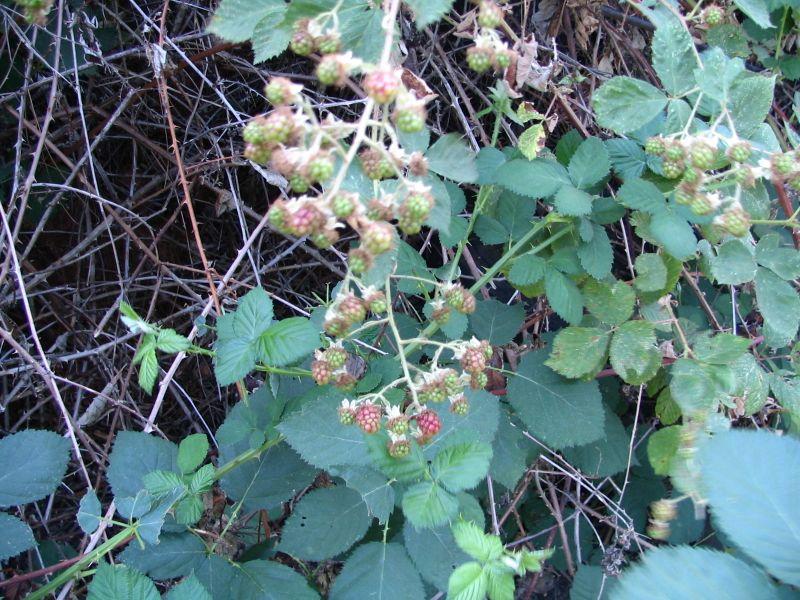 Blackberries We Kept, 3