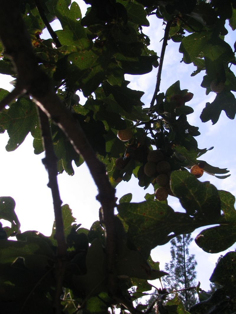 Galls_in_trees_2