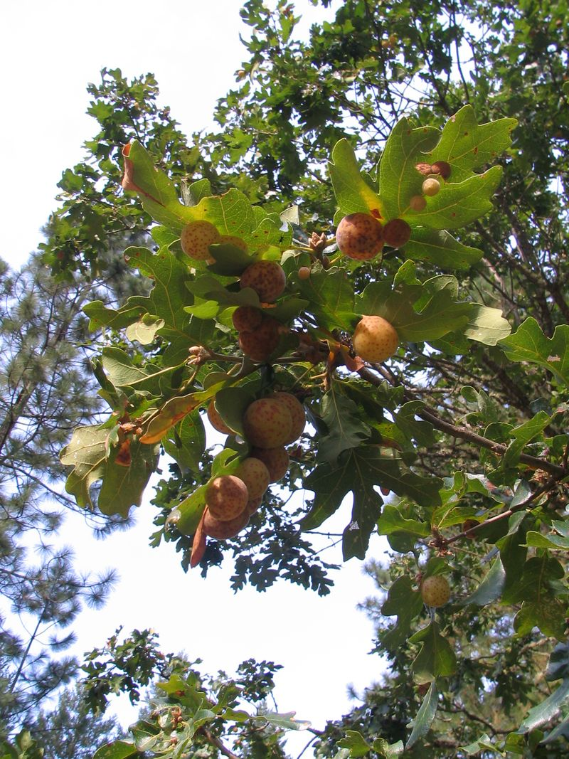 Galls_in_trees_1