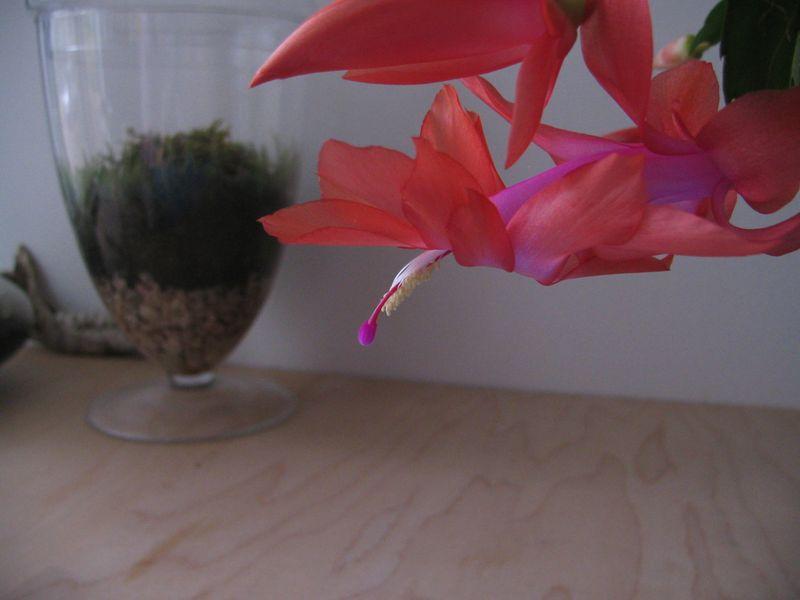 Christmas_Cactus_2010