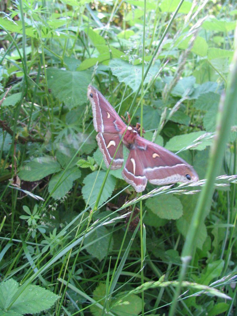Large Moth 16
