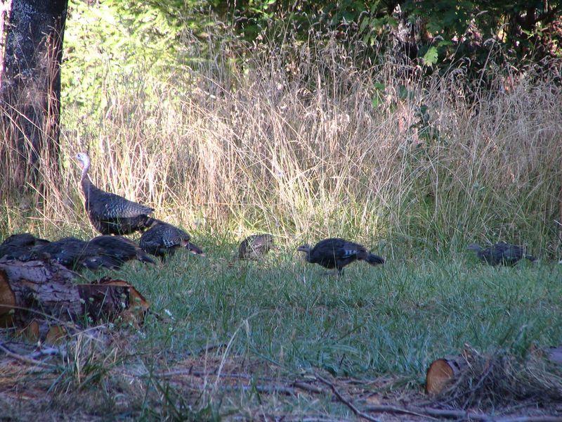 Wild Turkey Babies, 2