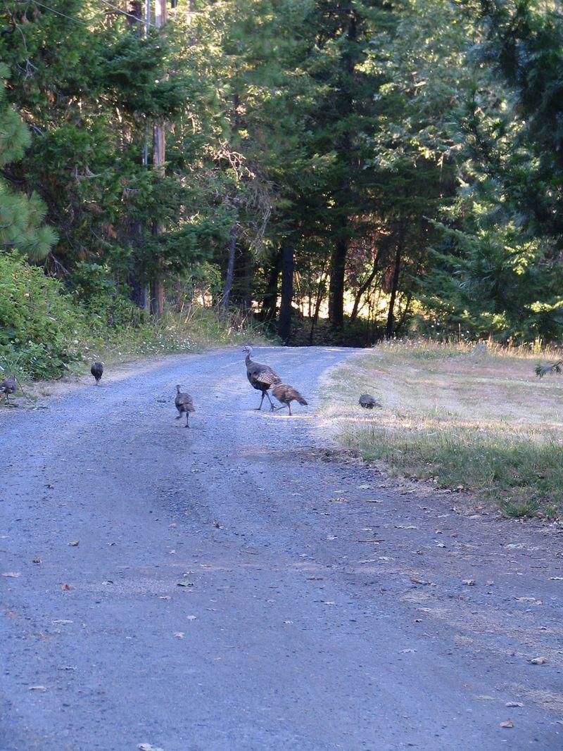 Wild Turkey Babies, 6