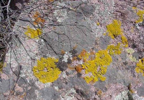 Lichen_in_nature